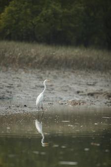 Piękne ptaki wodne w namorzynach parku narodowego sundarban