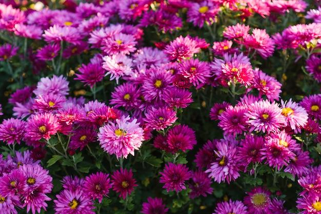 Piękne purpurowe jesieni chryzantemy w ogródzie