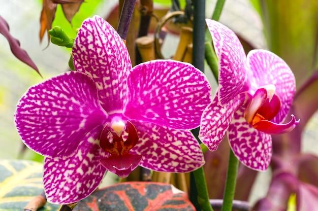 Piękne, purpurowo-białe plamiste kwiaty orchidei