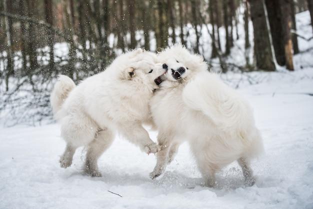Piękne puszyste dwa białe samojedy bawią się w zimowym lesie
