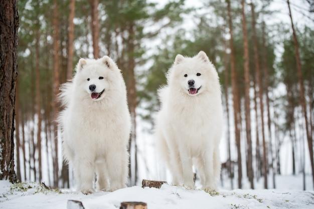 Piękne puszyste dwa białe samojedy są w zimowym lesie carnikova nad bałtykiem