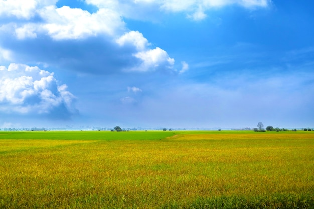Piękne rolnictwo jaśminowa farma ryżu rano ciemnoniebieskie niebo biała chmura w porze deszczowej