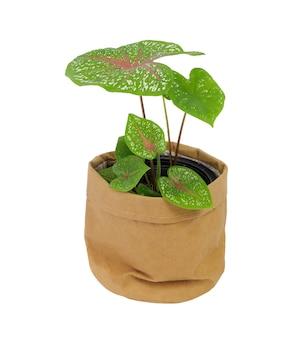 Piękne rośliny doniczkowe caladium bicolor vent, araceae, angel wings w brązowym garnku z recyklingu papieru na białym tle
