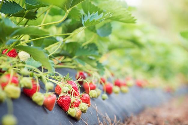 Piękne rośliny truskawki z wieloma dojrzałymi czerwonymi jagodami na gospodarstwie rolnym podczas gdy zbierać w lecie. uprawa ekologicznej truskawki