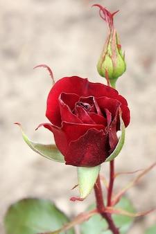 Piękne róże w ogrodzie