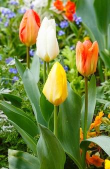 Piękne Różnokolorowe Tulipany Na Wiosnę. Natura Wielobarwne Tło. Premium Zdjęcia