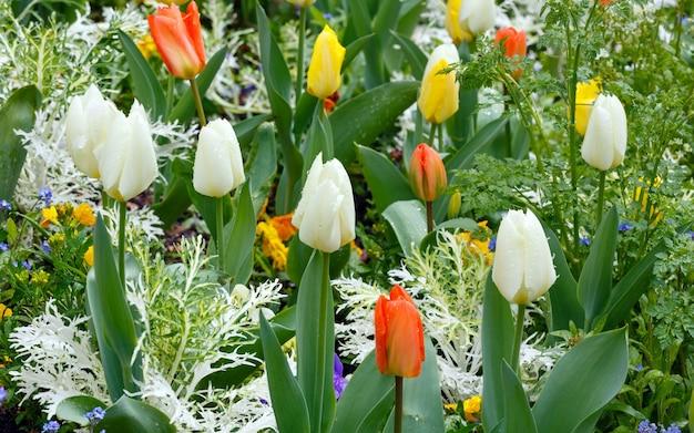 Piękne różnokolorowe tulipany na wiosnę. natura wielobarwne tło.