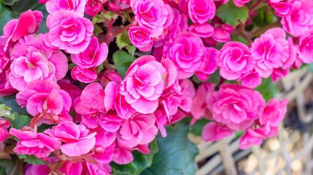 Piękne różowe begonie w ogródzie
