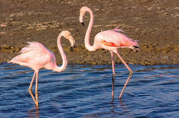 Piękne różowe flamingi spacerujące po lagunie i szukające jedzenia?