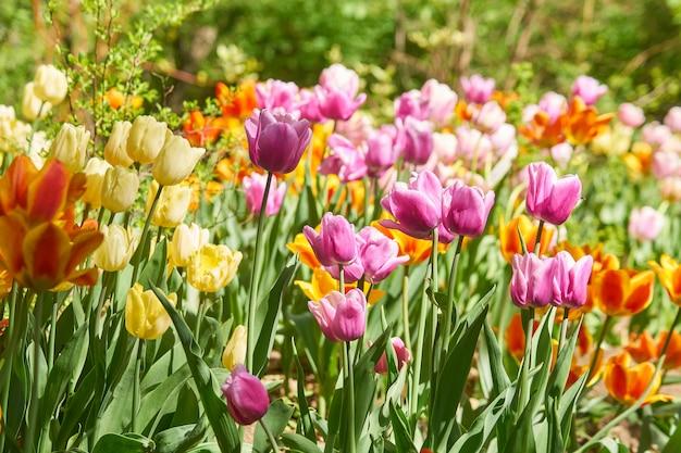 Piękne różowe i żółte pola tulipanów na wiosnę