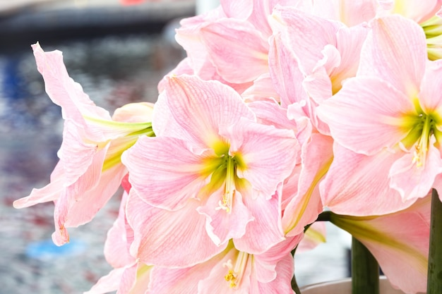 Piękne Różowe Kwiaty Amarylis W Makro Bukiet. Premium Zdjęcia