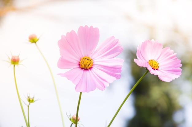 Piękne różowe kwiaty kosmosu w ogrodzie