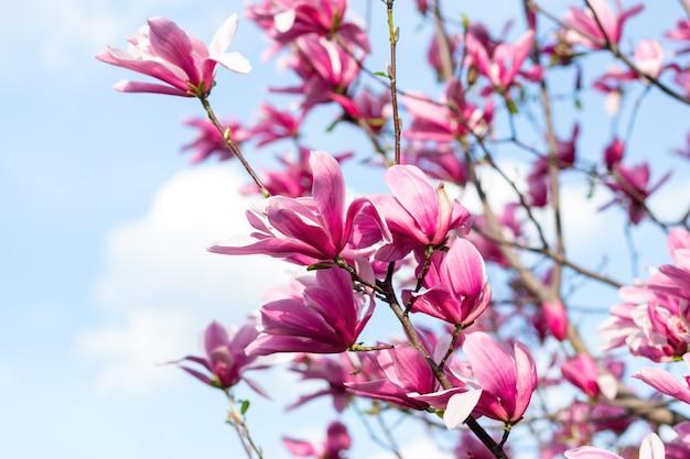Piękne różowe kwiaty magnolii na drzewie. kwitnąca magnolia. koncepcja sezonu wiosennego.