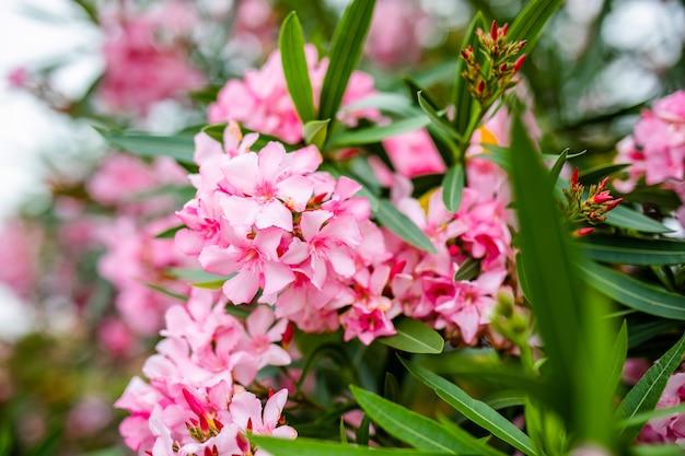 Piękne różowe kwiaty na zielonej gałęzi w parku lato