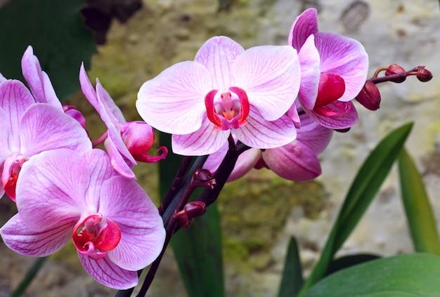 Piękne różowe kwiaty orchidei