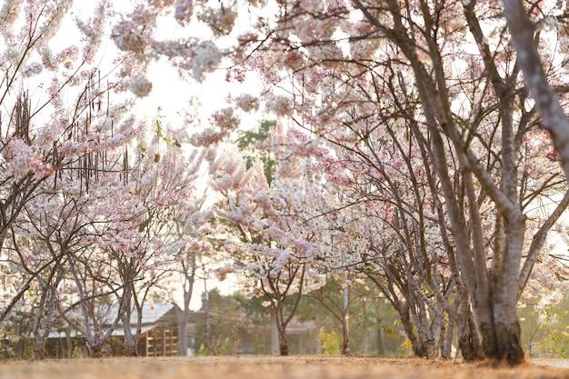 Piękne różowe kwiaty tajlandii nazywane są kwiatem kalapapruek lub drzewem życzeń w ogrodzie