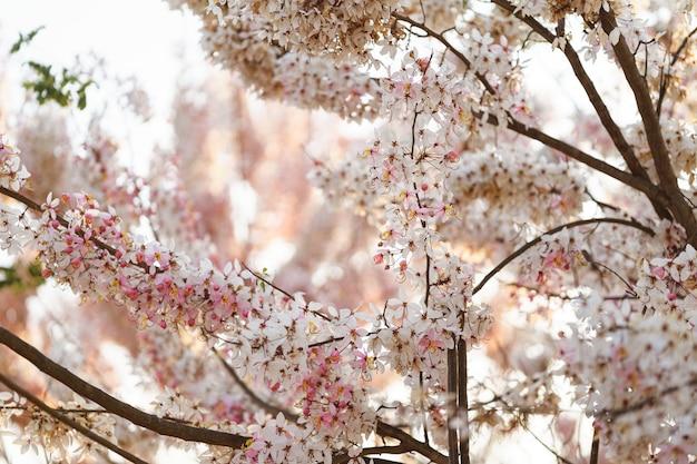 Piękne różowe kwiaty tajlandii nazywane są kwiatem kalapapruek lub wishing tree