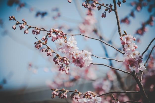 Piękne różowe kwiaty wiśni