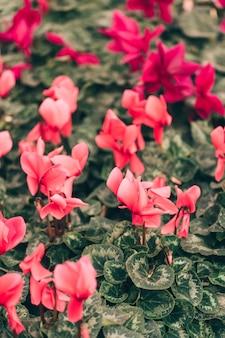 Piękne różowe kwiaty