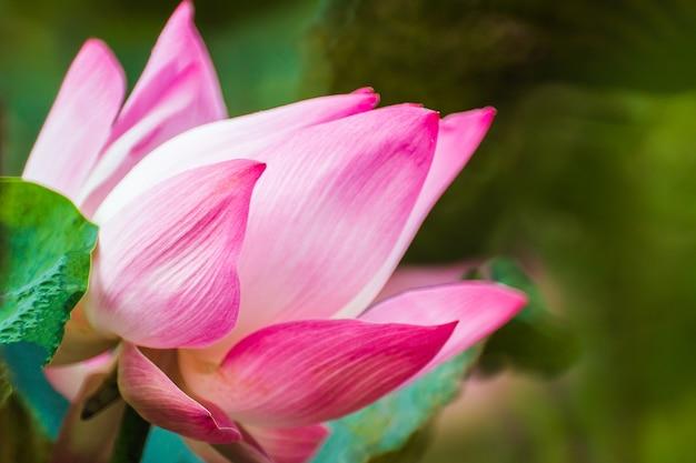 Piękne różowe lilia wodna lub kwiat lotosu w stawie.