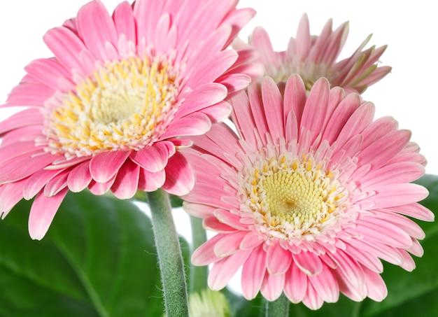 Piękne różowe (magenta) kwiaty gerbery na białym tle