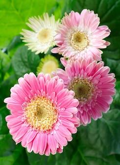 Piękne różowe (magenta) kwiaty gerbery