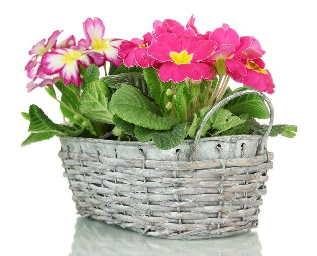 Piękne różowe primule w koszyku, na białym tle