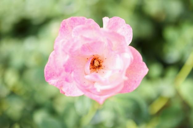 Piękne różowe róże kwitną w ogrodzie