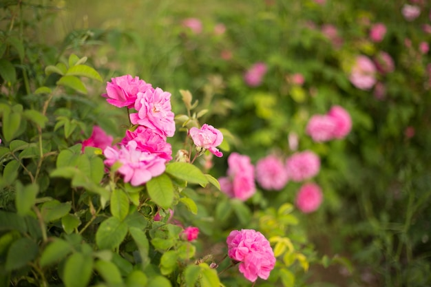 Piękne różowe róże.