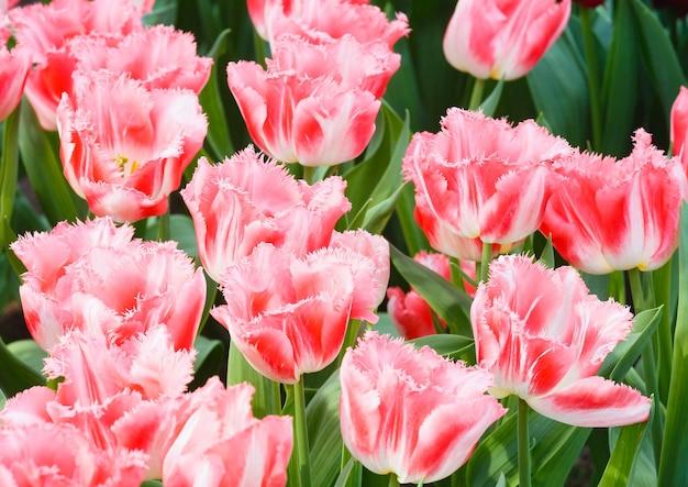Piękne różowe tulipany w makro wiosna.