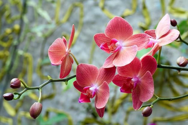 Piękne różowo-pomarańczowe kwiaty orchidei
