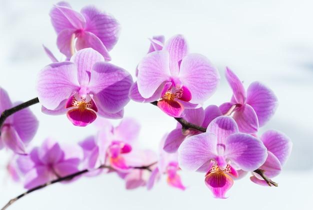 Piękne różowo-purpurowe kwiaty orchidei gromadzą się na tle śniegu