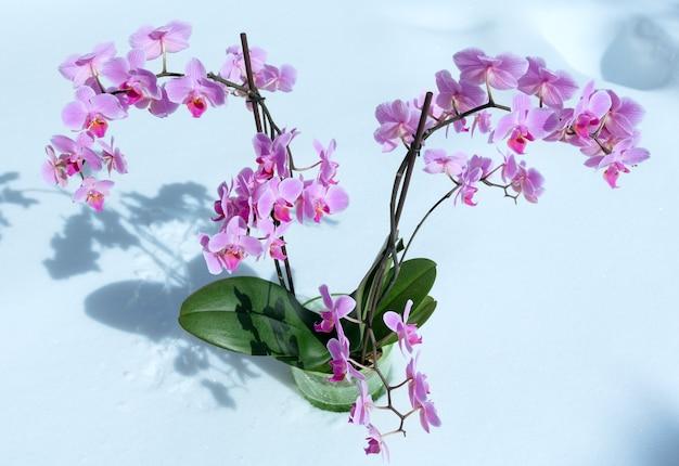 Piękne różowo-purpurowe kwiaty orchidei na tle śniegu