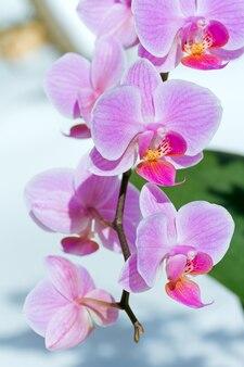 Piękne różowo-purpurowe kwiaty orchidei skupiają się na śniegu