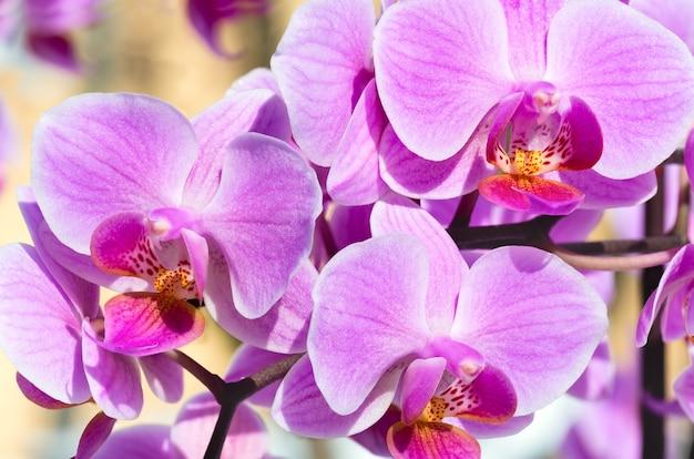 Piękne różowo-purpurowe skupisko kwiatów orchidei