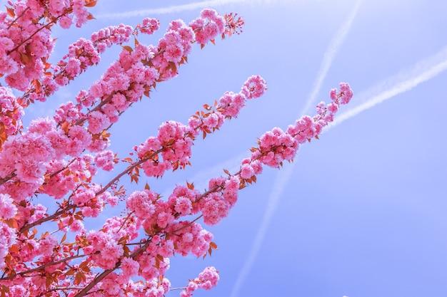 Piękne sakura lub drzewa wiśniowe z różowymi kwiatami na wiosnę na tle błękitnego nieba