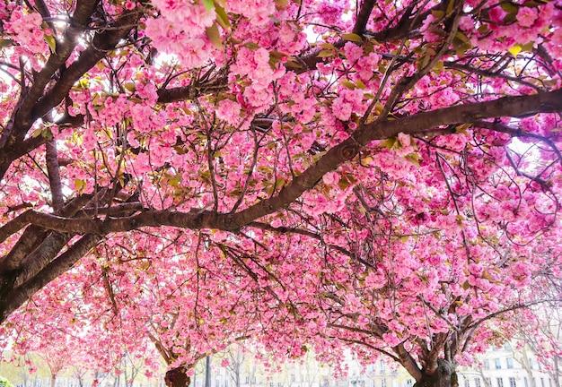 Piękne sakury lub wiśnie z różowymi kwiatami na wiosnę