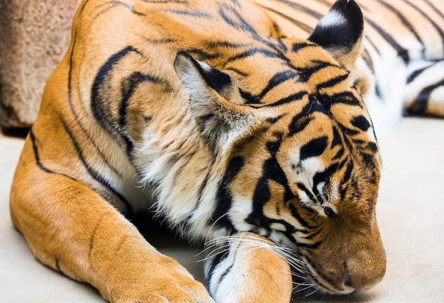 Piękne silne pasiasty tygrys śpiący zbliżenie.