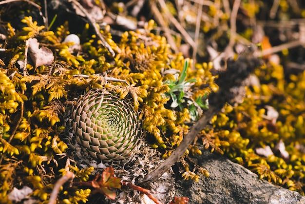 Piękne skupisko malowniczych kłujących sukulentów wśród kamieni z bliska. skaliste, przeżywalne rośliny całoroczne w makrofotografii. halni kaktusy w dzikiej naturze.