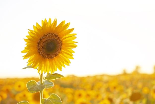 Piękne słoneczne pole słoneczników z błękitnym niebem. zbliżenie słonecznika na farmie.