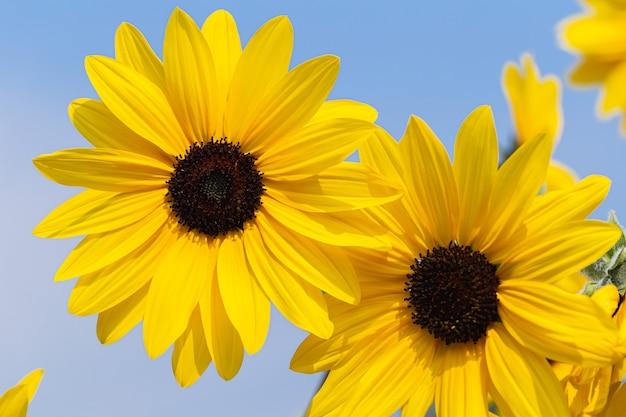 Piękne słoneczniki kwitnące w ogrodzie w wiosenny dzień