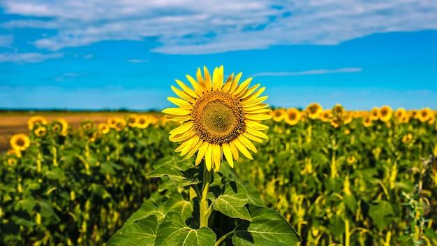 Piękne słoneczniki na tle błękitnego nieba