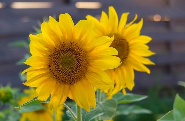 Piękne słoneczniki na tle zachodzącego słońca w ogrodzie