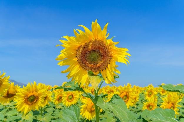 Piękne słoneczniki w gospodarstwie z błękitnym niebem