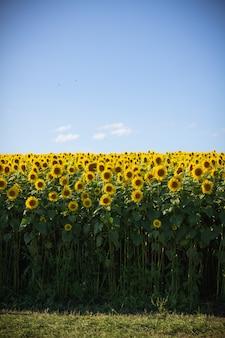 Piękne słonecznikowe pole z wyczyść błękitne niebo