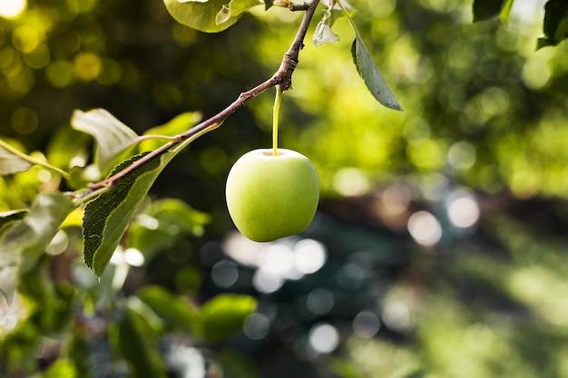Piękne smaczne zielone jabłko na gałęzi jabłoni w sadzie. jesienne zbiory w ogrodzie na zewnątrz