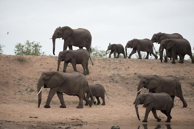 Piękne stado słoni afrykańskich