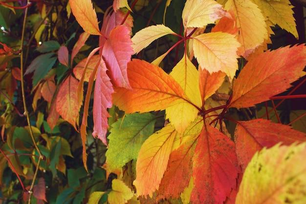 Piękne stałe jasne czerwono-zielone naturalne tło dzikich winogron, jesienne tło.
