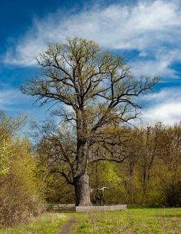 Piękne stare wysokie drzewo liściaste błękitne niebo i białe chmury