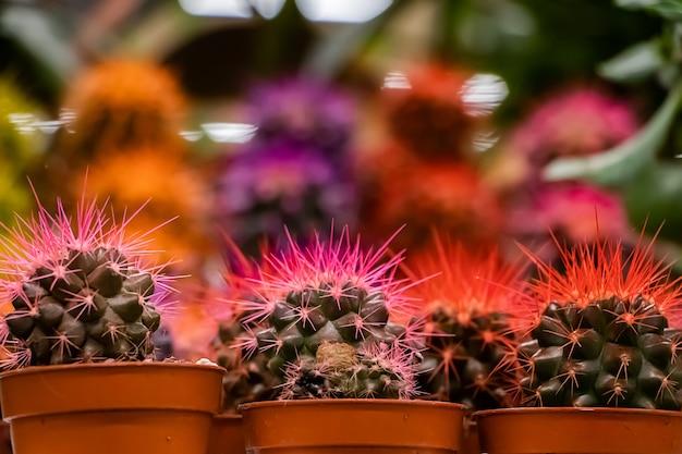 Piękne sukulenty w doniczkach. kwitnący kaktus z bliska. selektywne skupienie